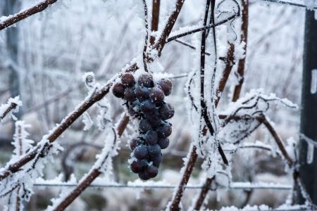 Comment prot ger les vignes du gel - Comment proteger les arbres fruitiers du gel ...